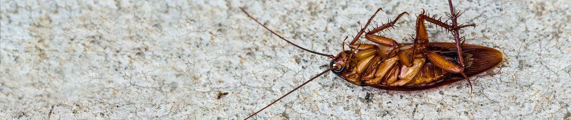 large-roach